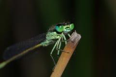 Damselfly de ojos azules Imagen de archivo