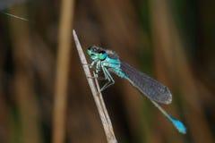 Damselfly de ojos azules Foto de archivo