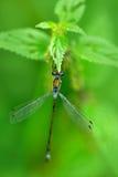 Damselfly del blu della libellula di estate Macro immagine della libellula in permesso Libellula nella natura Insetto nell'habita immagine stock