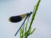 Damselfly, a delicate, beautiful and cruel predator stock images