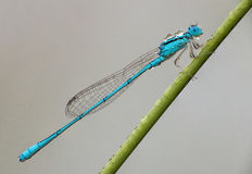 Damselfly Delight Royalty Free Stock Images