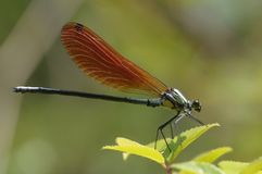 A damselfly. This demsefly is resting above the wing beam in the back Stock Photography