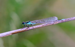 Damselfly descending branch in the river Stock Photos
