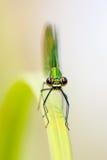 Damselfly di Calopteryx fotografia stock libera da diritti