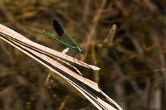 Damselfly di Jewelwing del fiume - aequabilis di Calopteryx Fotografia Stock Libera da Diritti