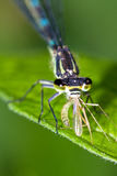 Damselfly diner Stock Photo