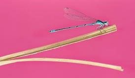 Damselfly dos azuis celestes, puella de Coenagrion Foto de Stock Royalty Free