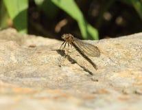 Damselfly (Dragonfly) Obrazy Stock