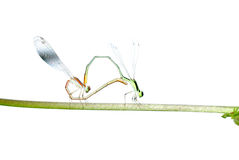 Damselfly dragonfly isolated Stock Photography