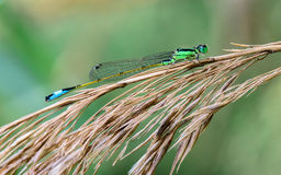 Damselfly in dry branches in the river Stock Image