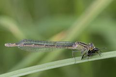 Damselfly eating an insect royalty free stock photo