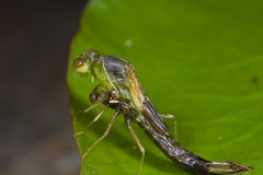Damselfly emerging from nymph stage Stock Images