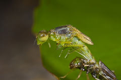 Damselfly emerging from nymph stage Royalty Free Stock Images