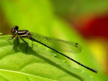 Damselfly en la hoja verde. Foto de archivo libre de regalías