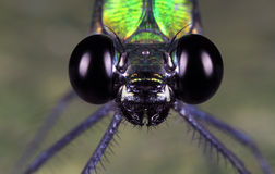 A damselfly eyes close up. A close up or macro photograph eyes of a species of insects in a tropical climate countries, called the damselfly Stock Photo