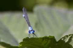 Damselfly Face Closeup. A blue damselfly with its big eyes and comical, yet diabolical expression Stock Photo