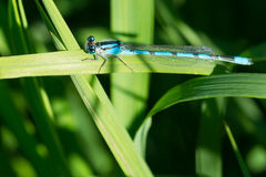 Damselfly familiar de Bluet imagem de stock royalty free