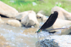 Damselfly. A female damselfly stands on stone by the rivulet. Scientific name: Mnais mneme Royalty Free Stock Photography