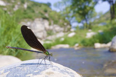 Damselfly. A female damselfly stands on stone by the rivulet. Scientific name: Mnais mneme Stock Photography