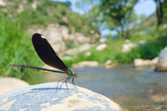 Damselfly. A female damselfly stands on stone. Scientific name: Matrona cyanoptera Royalty Free Stock Photography