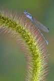 Damselfly on foxtail. A damselfly is sitting on a foxtail grass Stock Images