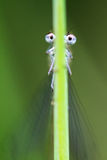 Damselfly funny eyes Stock Images