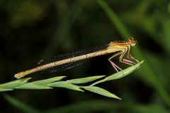 Damselfly on grass Stock Images