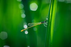 Damselfly on grass Royalty Free Stock Images