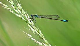Damselfly on grass Royalty Free Stock Photos