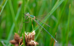 Damselfly on green branch in the river Stock Images