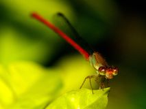 Damselfly on the green leaf. Stock Image