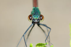 Damselfly. The head close-up of damselfly. Scientific name: Mnais mneme royalty free stock photography