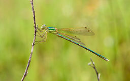 Damselfly held by a dry branch Royalty Free Stock Images