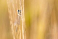 Damselfly hiding in Barley Royalty Free Stock Image