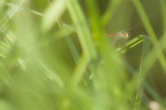 Damselfly hiding among grass Stock Photos