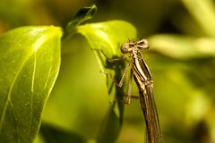 Damselfly insect Stock Images