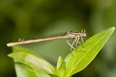 Damselfly insect Stock Image