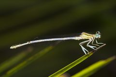 damselfly insect Stock Photo