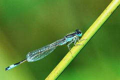 Damselfly - Ischnura graellsii male Stock Images