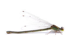 Damselfly isolated on white Stock Photography