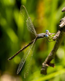 Damselfly. Lands on a twig in the woods Stock Photos