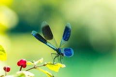Damselfly Largo-voado, libélula Fotografia de Stock Royalty Free