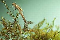 Damselfly larvae water insect dragonfly Royalty Free Stock Photography