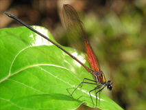 Damselfly on Leaf Stock Images