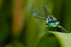 Damselfly on a leaf. This picture shows a damselfy sitting on a leaf Royalty Free Stock Image