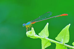 Damselfly on leaf. Very colourful damselfly on the leaf stock image