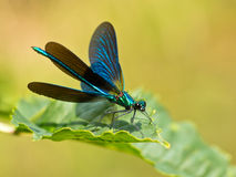 Damselfly on a leaf Royalty Free Stock Photos