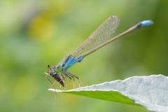 Damselfly on leaf. A blue damselfly on leaf royalty free stock photos