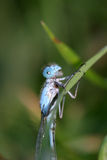 Damselfly on leaf Stock Photography