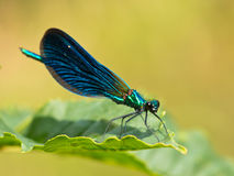 Damselfly on a leaf Royalty Free Stock Photography